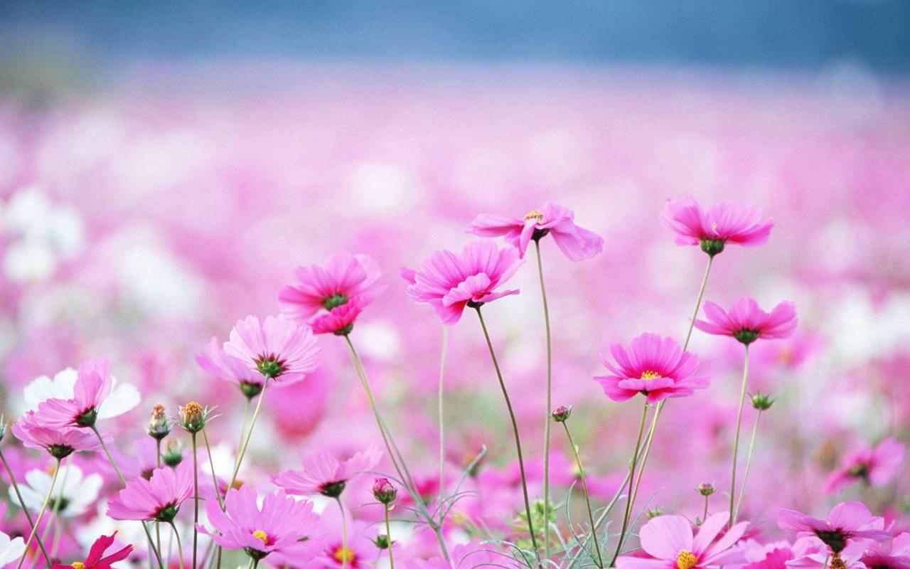 spring flowers wallpaper HD 1280x800