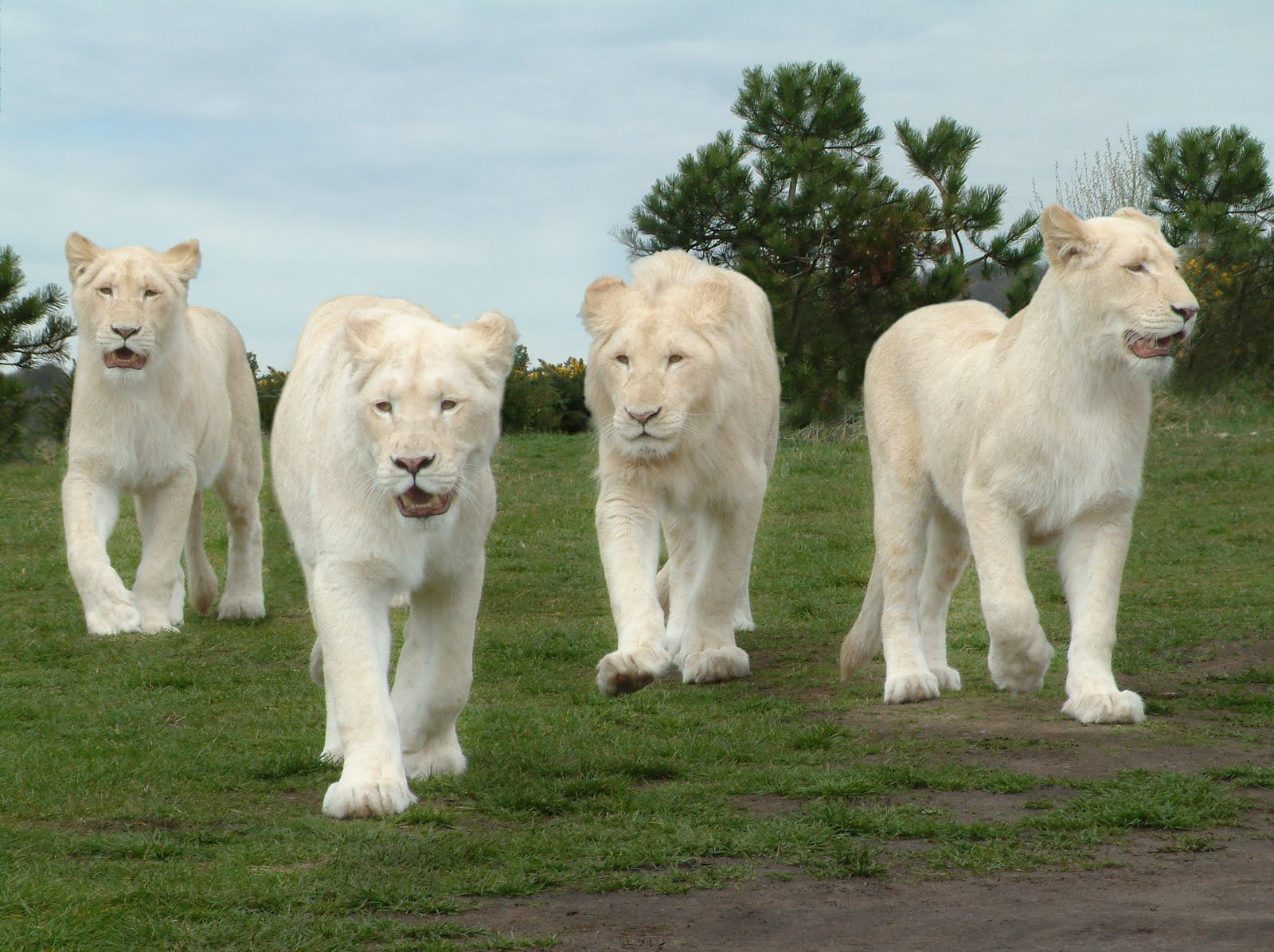 25 Beautiful White Lion Wallpaper 1600x1196