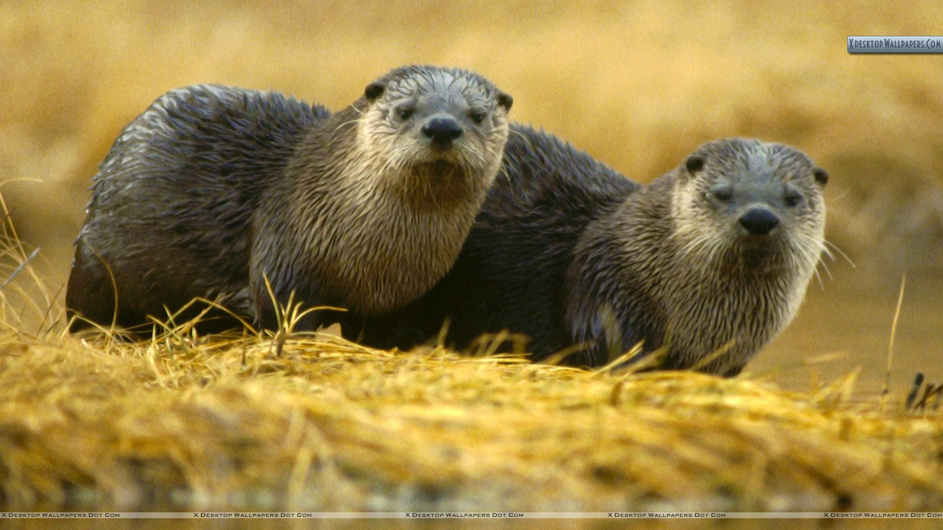 North American River Otter Yellowstone National Park Wallpaper 1920x1080