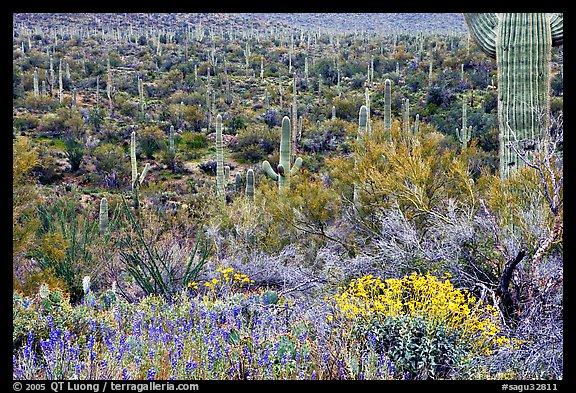 Sonoran desert in bloom Tucson Mountain District Saguaro National 576x393