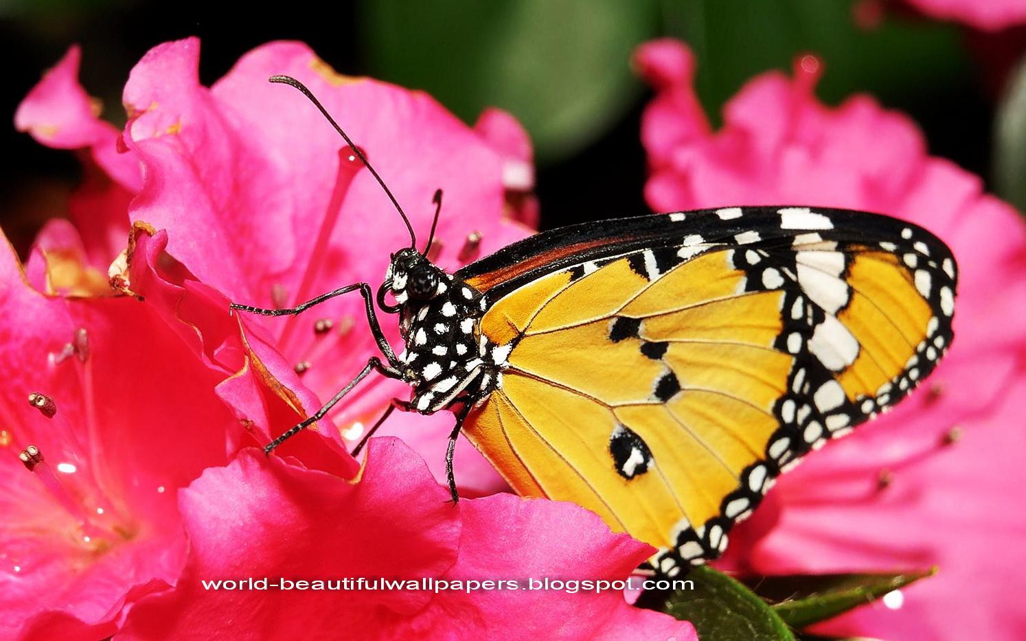 Beautiful Butterflies Wallpaper 1494x934