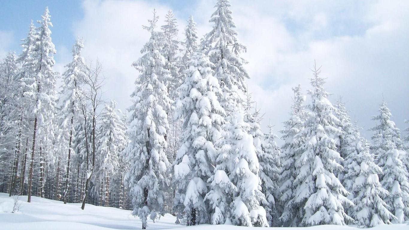 Snow covered fir trees wallpaper 6116 1366x768