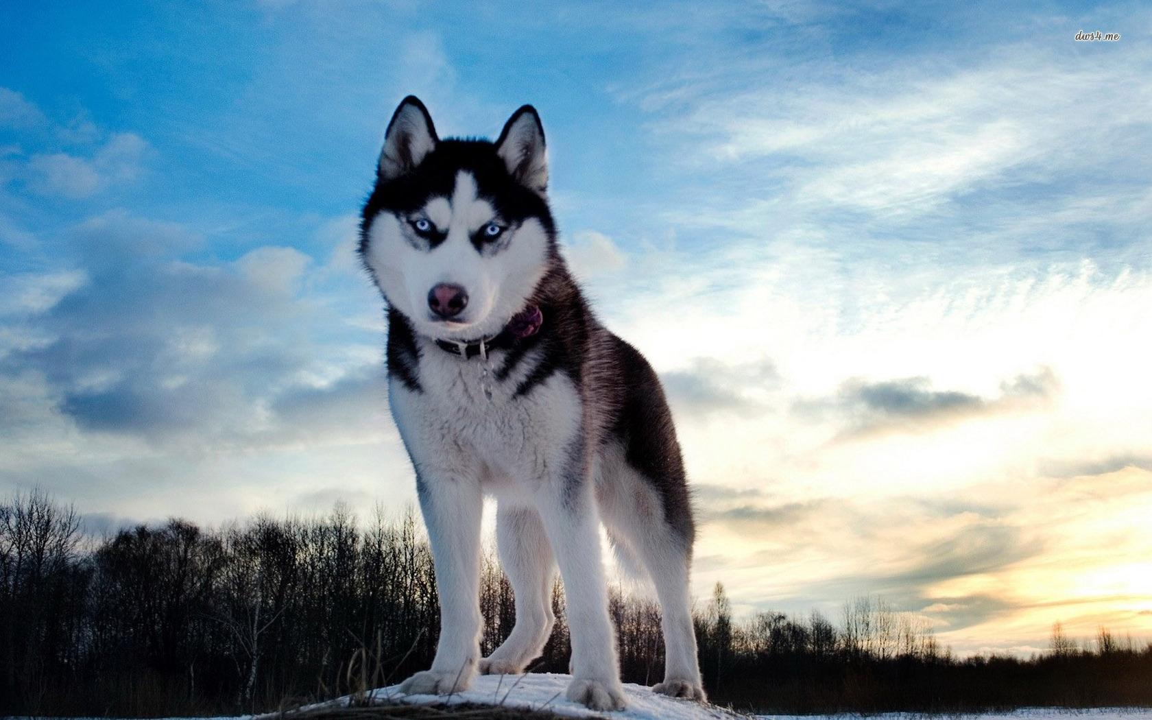 природа животное собака морда хаски  № 3886566  скачать