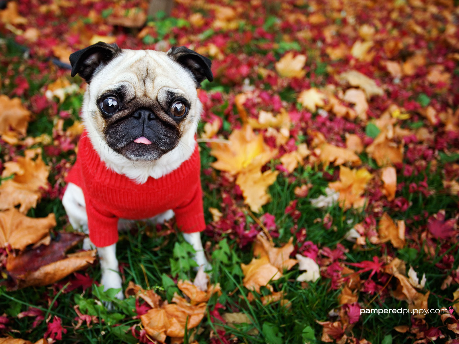 dog wallpaper   Funny pug in fall leaves 1600x1200