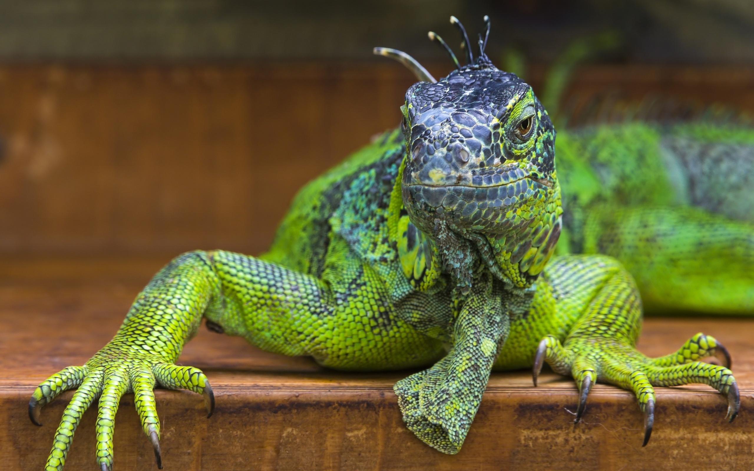 Green Iguana Wallpaper - WallpaperSafari