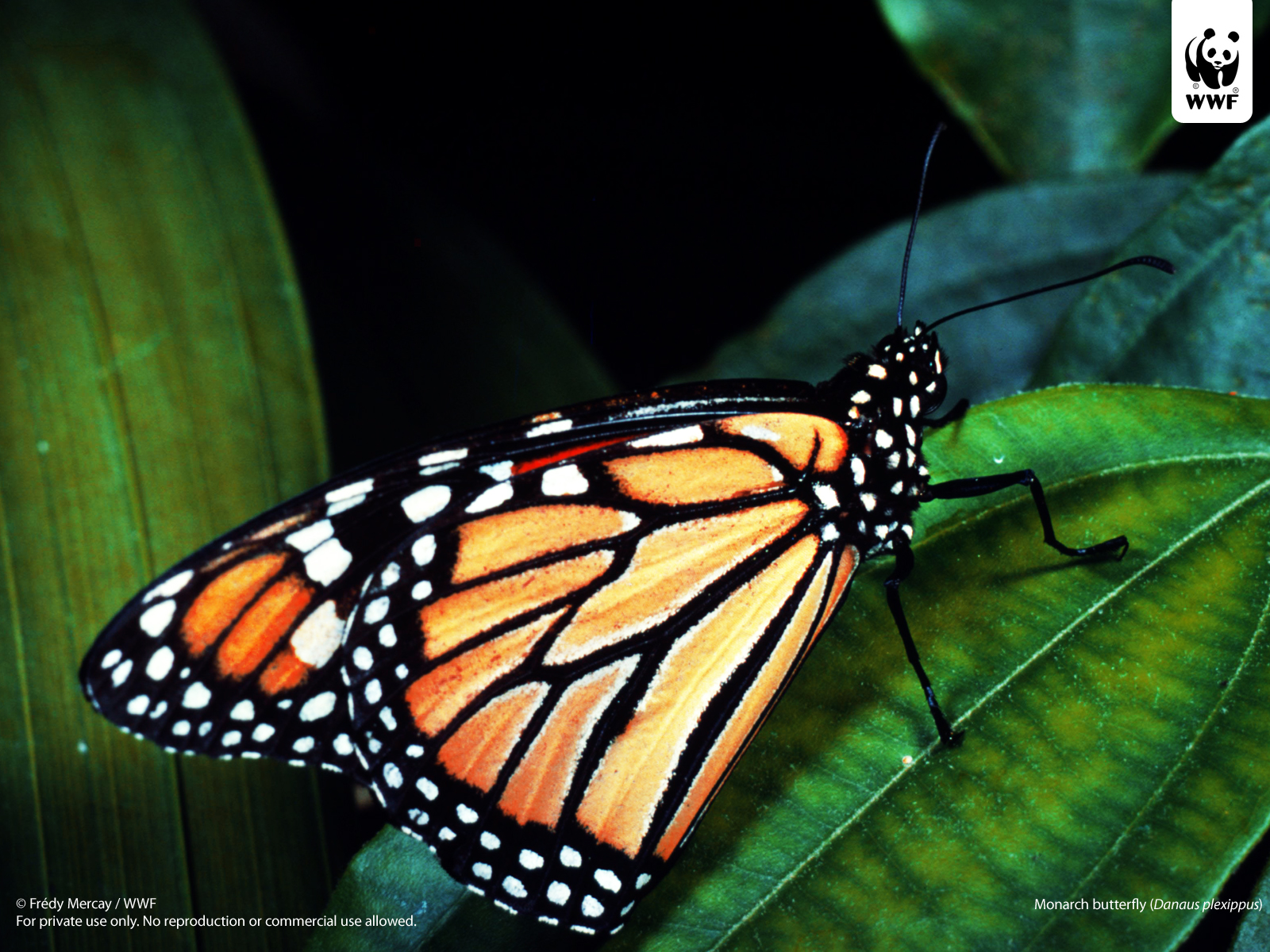 Monarch butterfly wallpaper Amazing Wallpapers 1600x1200