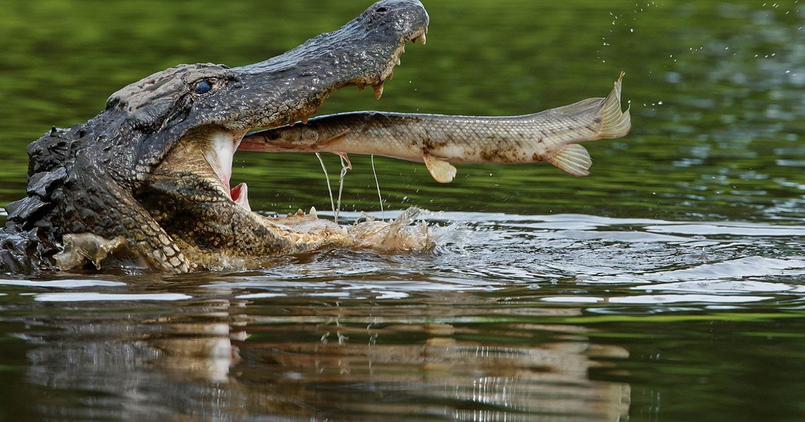 Alligator Wallpapers and Background Images   stmednet 1600x840