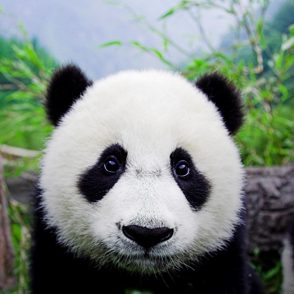 mundo da Biologia Panda   Fotos e um Fichamento 1024x1024