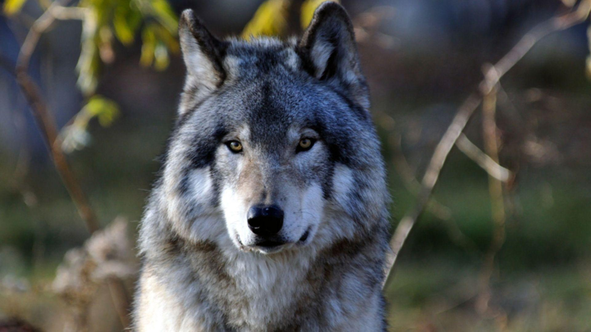 Gray Wolf Wallpapers 1920x1080