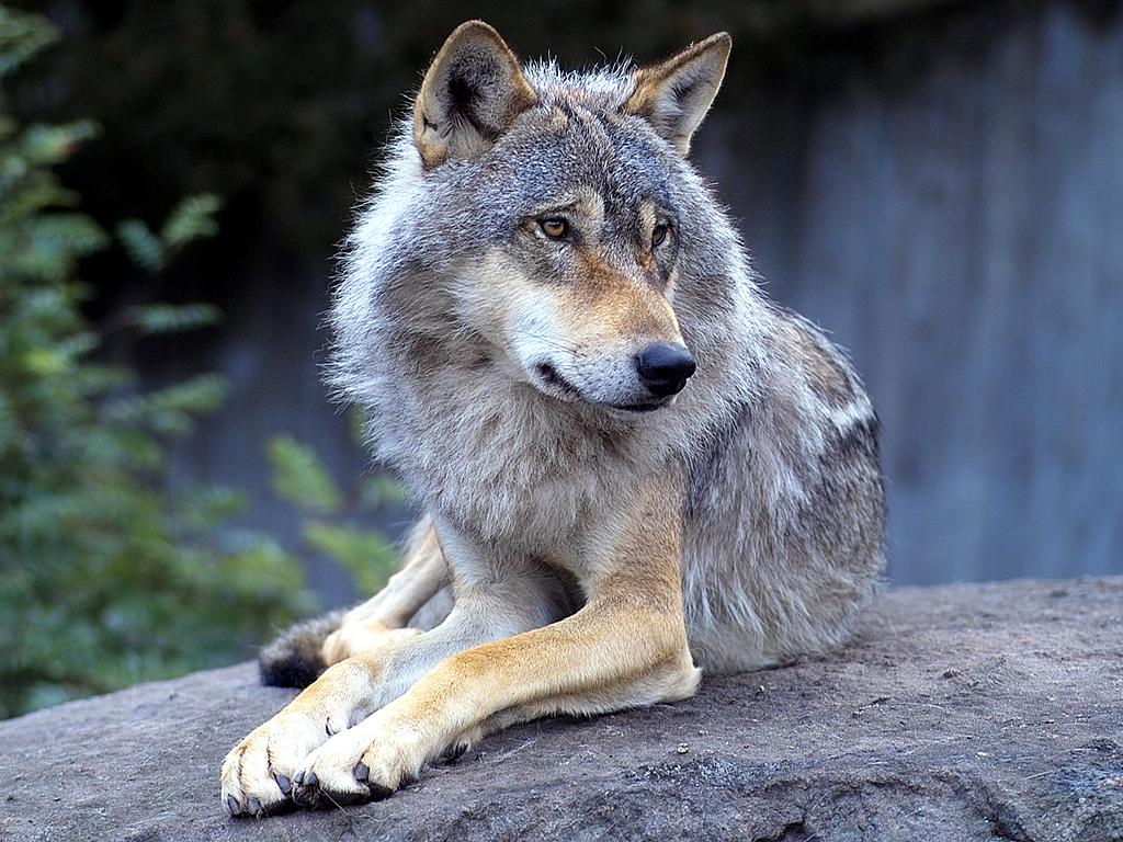 Wolves Wolves 1024x768