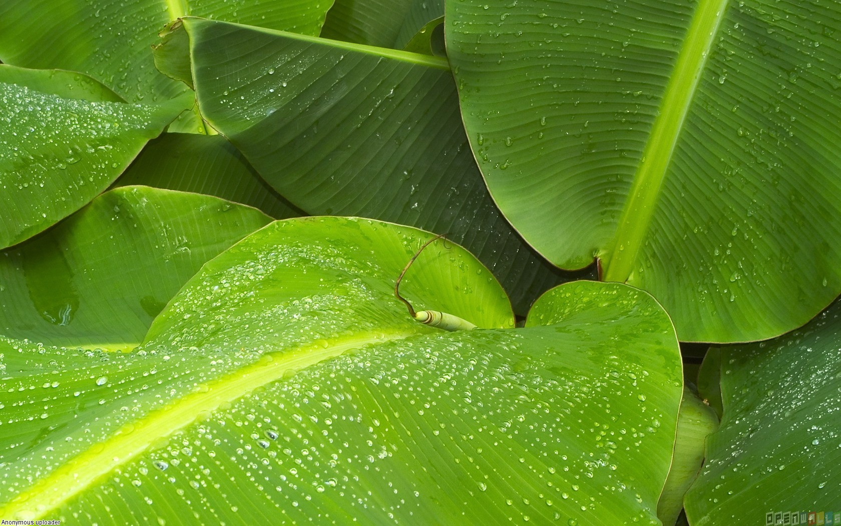 Pin Banana Leaves Wallpaper 7074 Open Walls 1680x1050