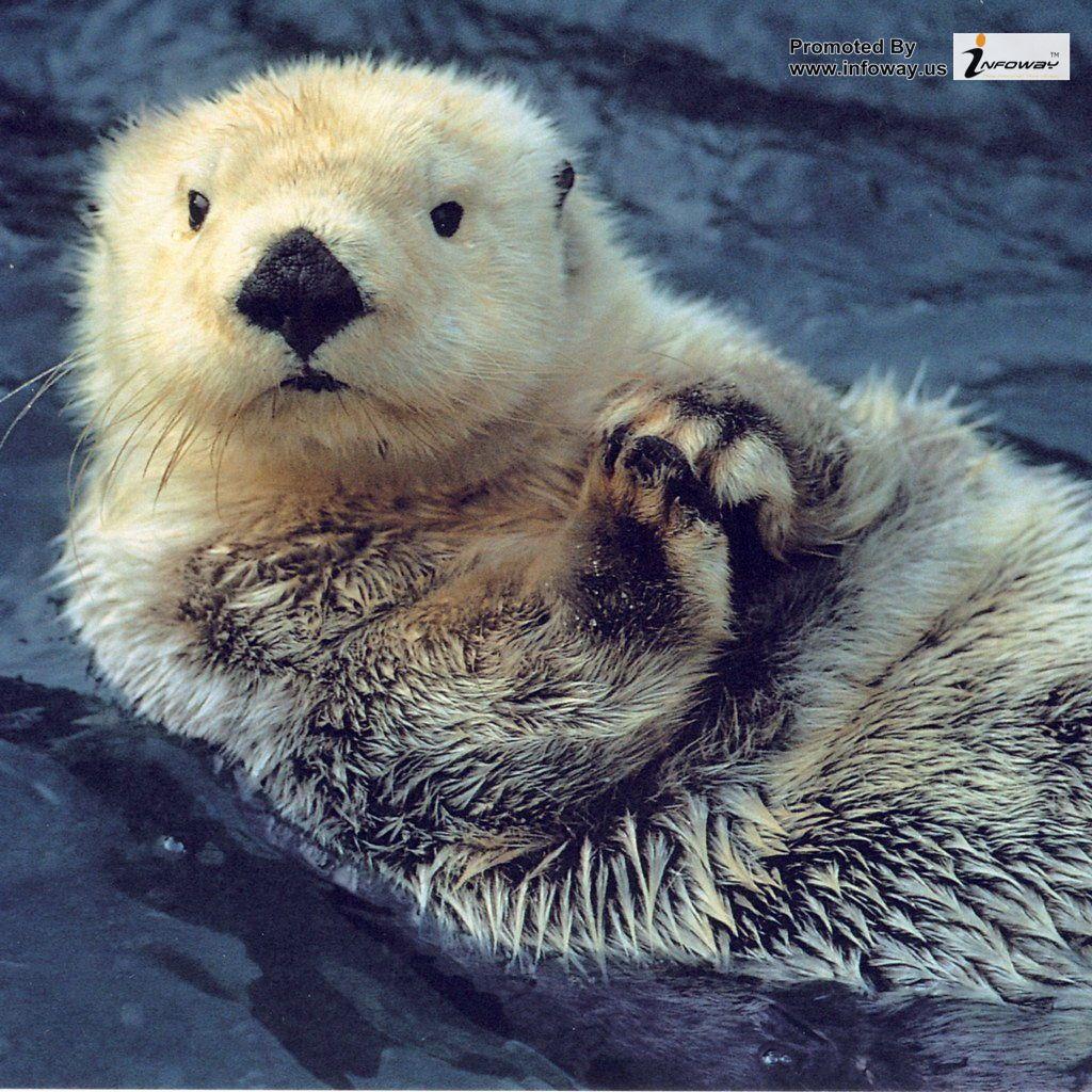 Cute Otters Wallpaper Hd   Photo 5 of 217 phombocom 1024x1024