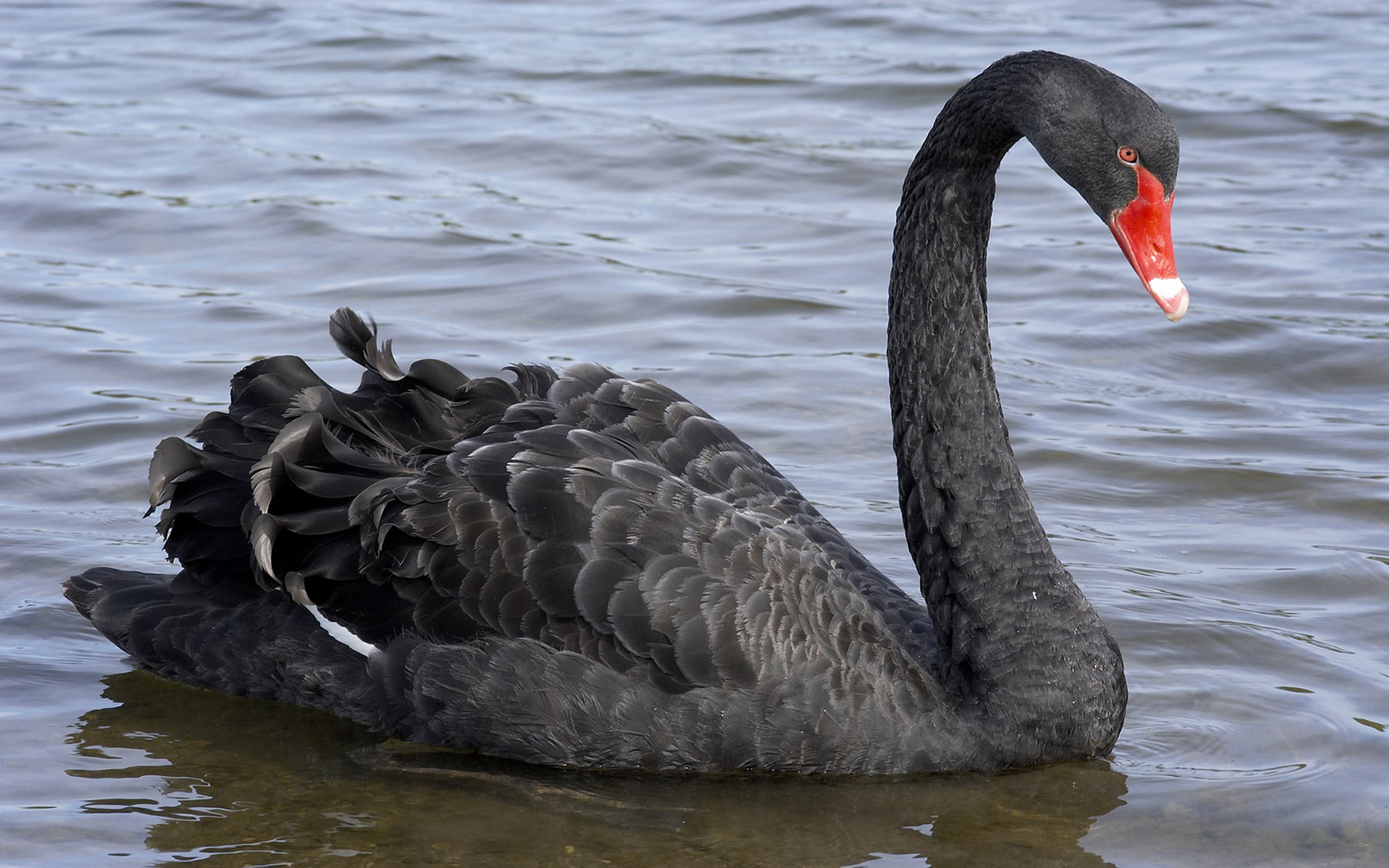 Big Black Swan Wallpaper Hd For Mobile Phone 3840x2400 3840x2400
