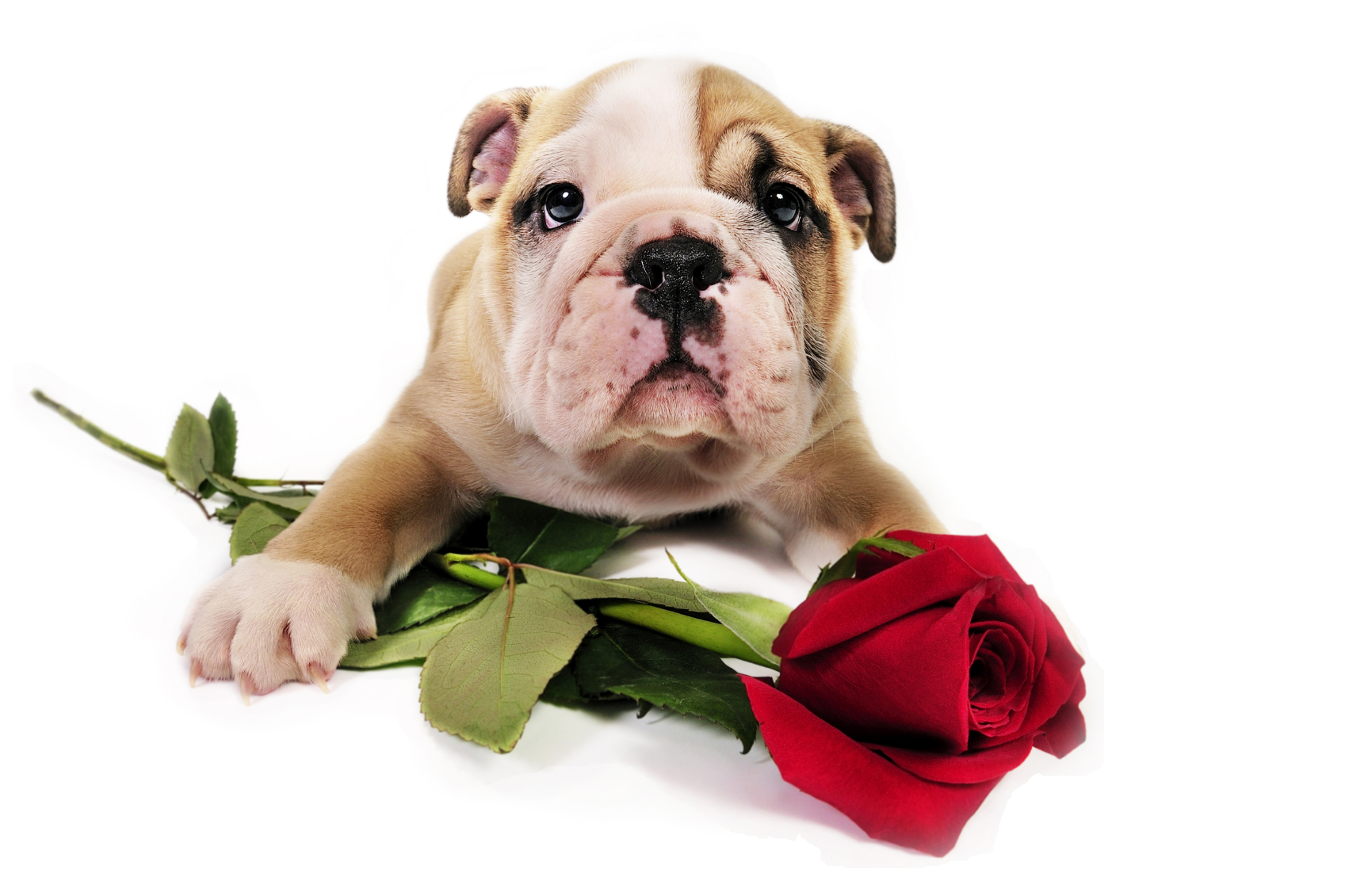 Free puppy valentine wallpaper wallpapersafari - Valentines day pictures with puppies ...