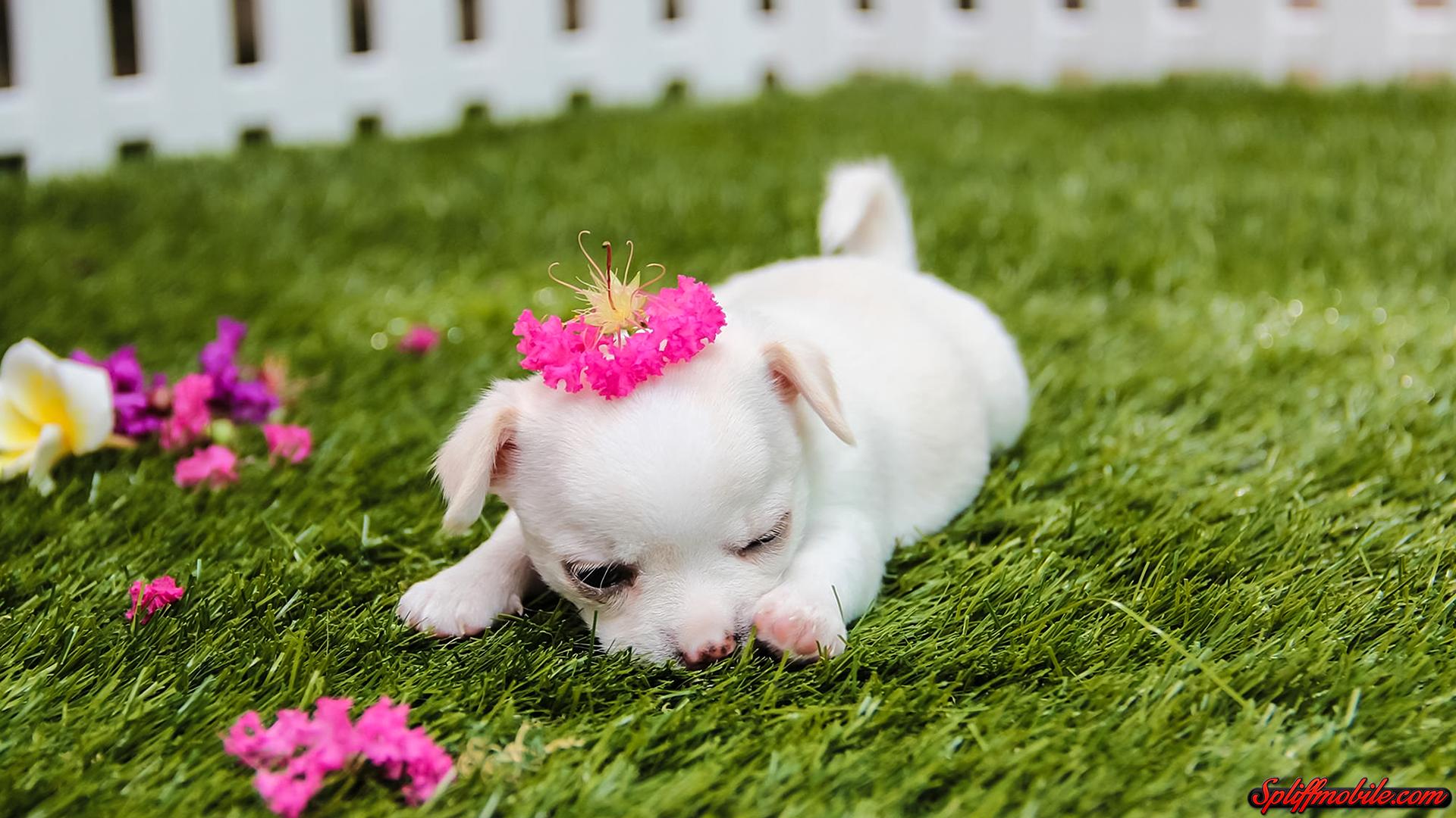 HD Cute Puppy Wallpaper 1920x1080