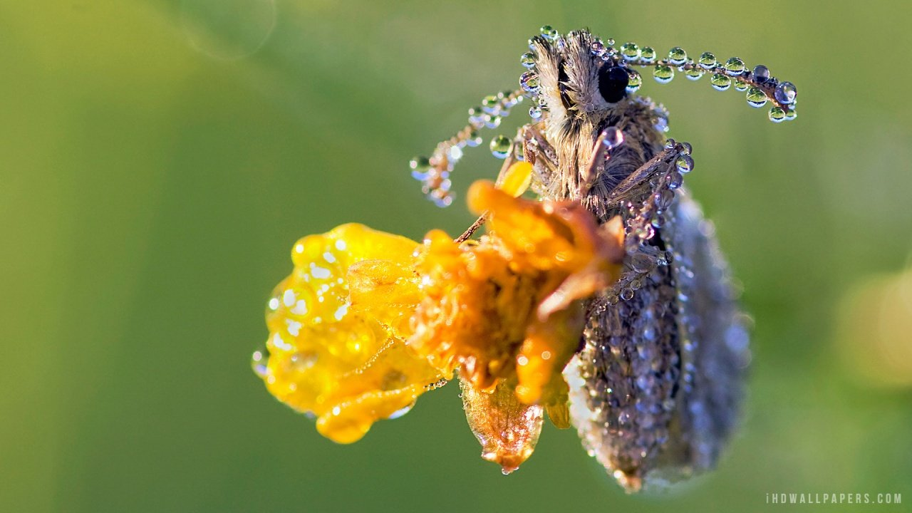 Dew Covered Insect HD Wallpaper   iHD Wallpapers 1280x720