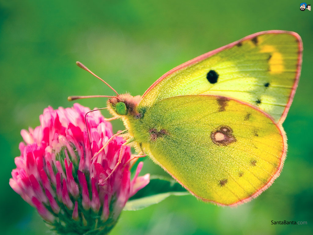 Butterfly Wallpaper 6 1024x768