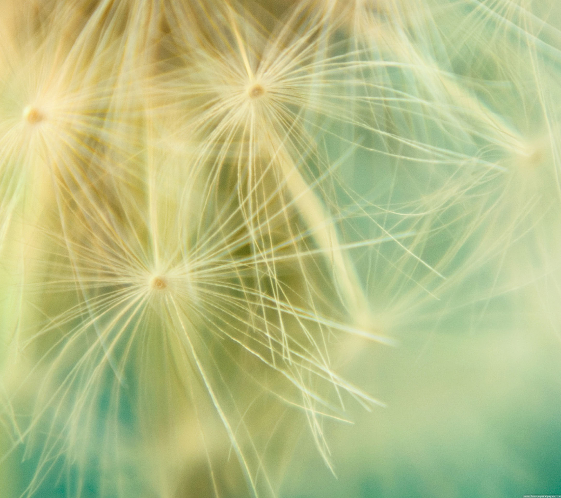 Dandelion Backgrounds Lock Screen 2160x1920 Samsung Galaxy S4 2160x1920