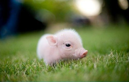 Baby Pig Wallpaper A baby pig 500x320