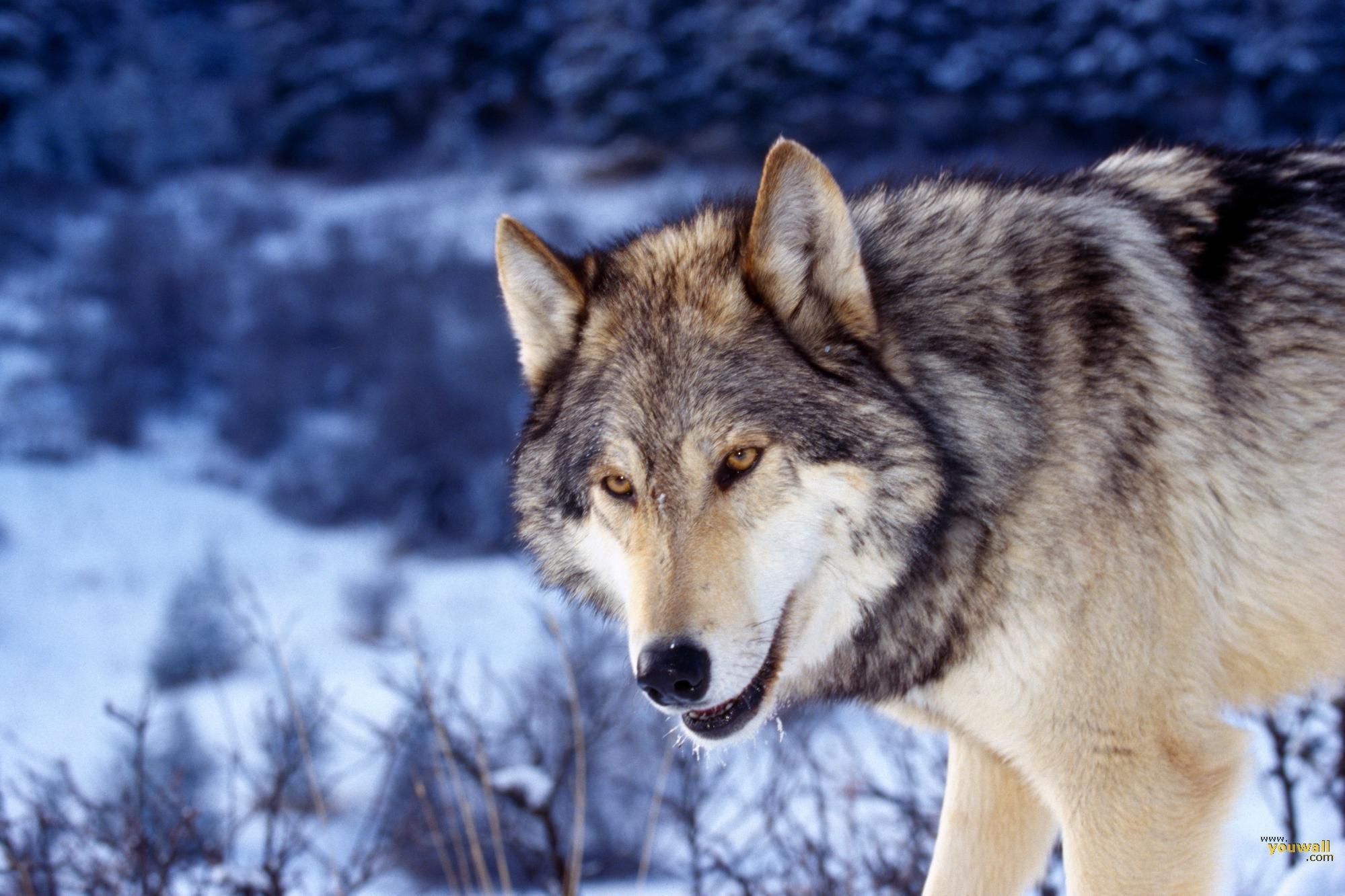 YouWall   Wolf Wallpaper   wallpaperwallpapersfree wallpaperphoto 1999x1333