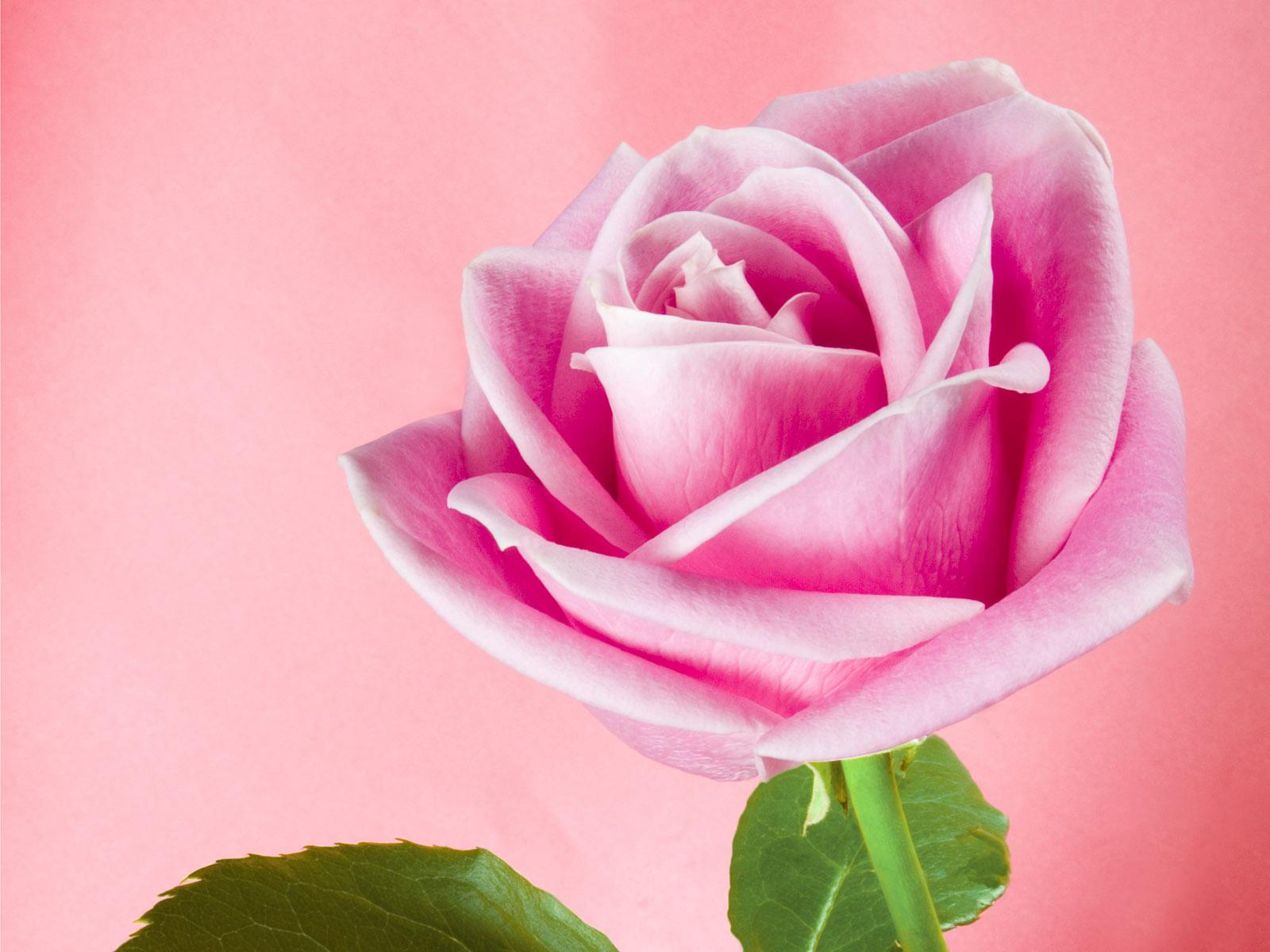Free Desktop Wallpaper Pink Roses