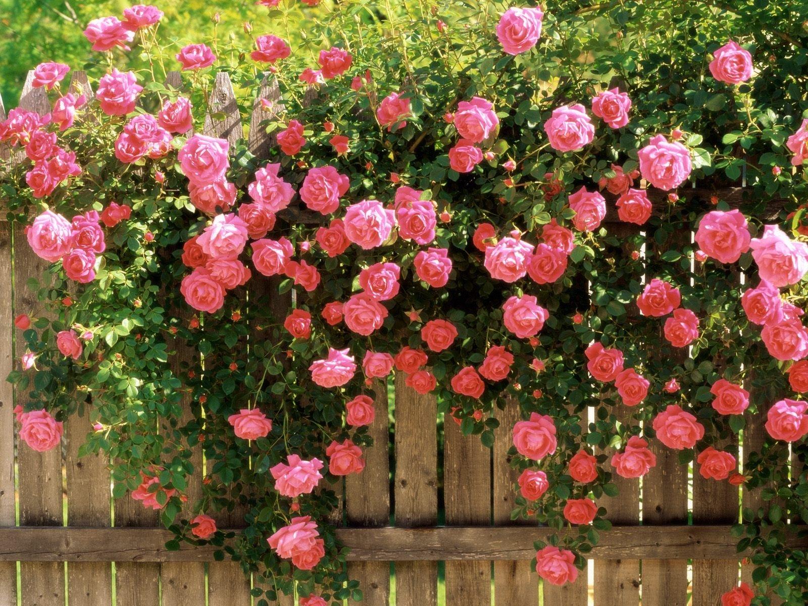 47 Pink Rose Wallpaper For Desktop On Wallpapersafari