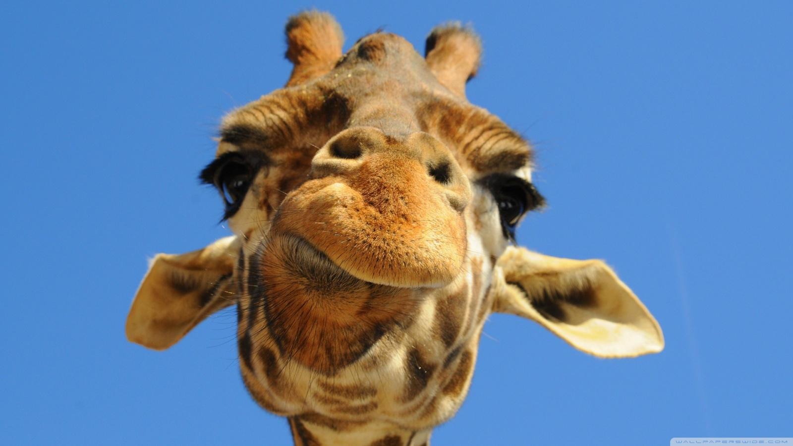 Giraffe Wallpaper 21   1600 X 900 stmednet 1600x900