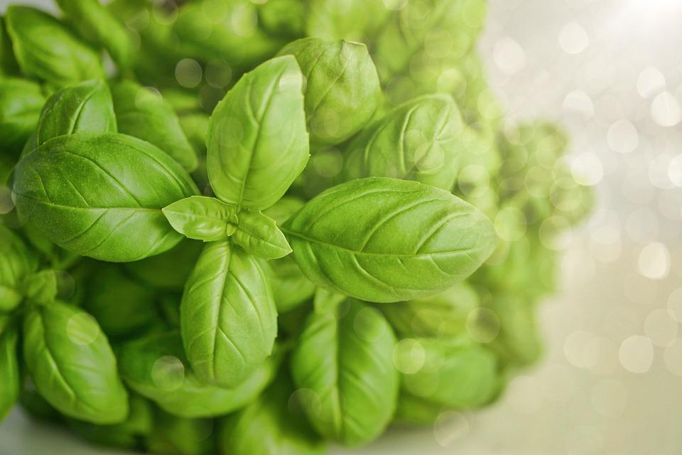 photo Organic Basil Food Green Fresh Herb Wallpaper   Max Pixel 960x640
