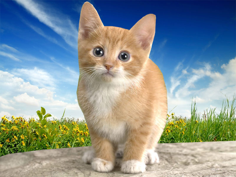 Free download Wallpapers Download Cat Desktop Wallpapers [800x600] for your  Desktop, Mobile & Tablet | Explore 78+ Cat Wallpaper Desktop | Funny Cat  Desktop Wallpaper, Cat Pictures for Wallpaper, Cute Cat Wallpapers for  Desktop