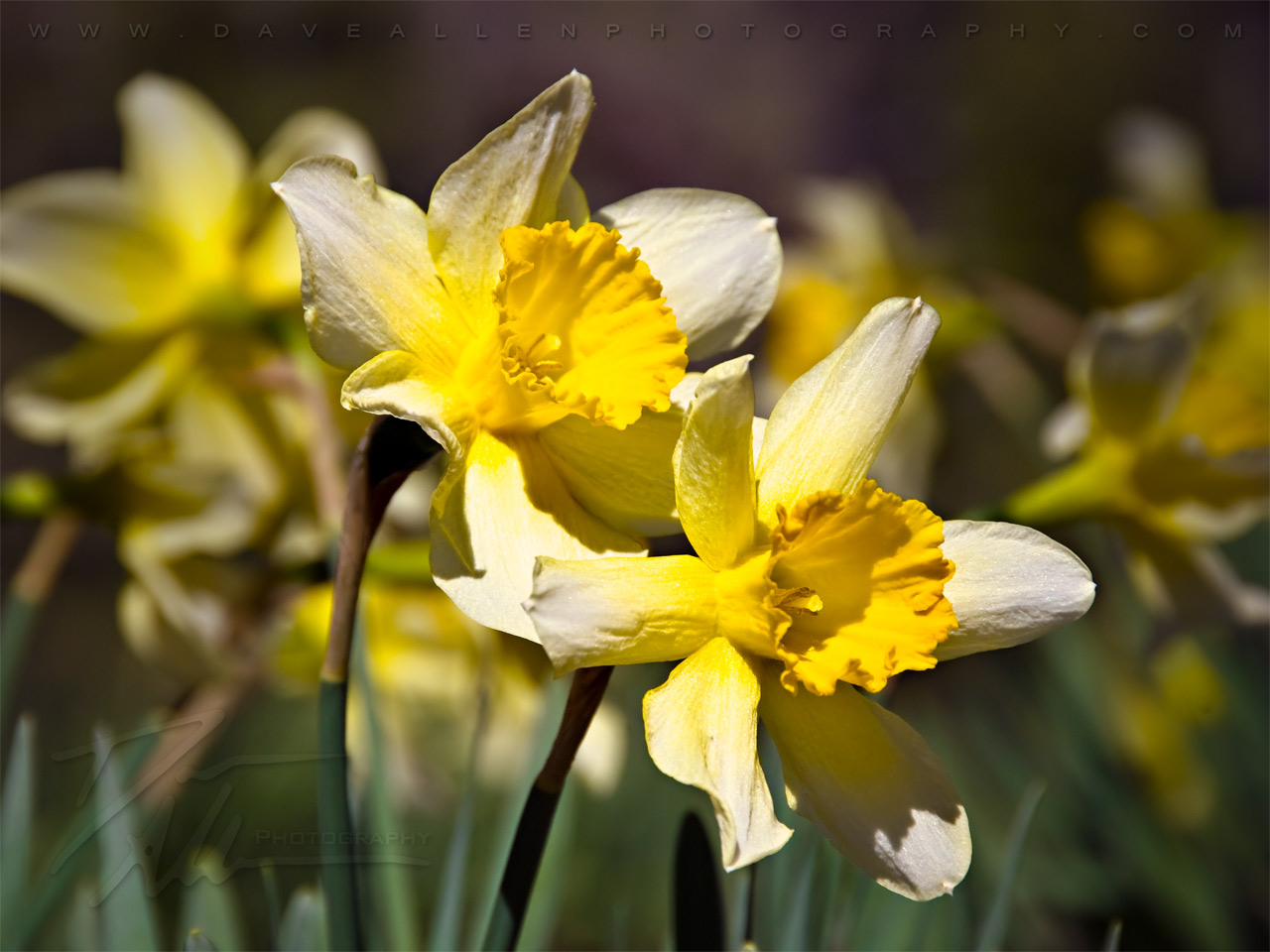 Early Spring Twin Daffodils   Flower Wallpaper Image 1280x960