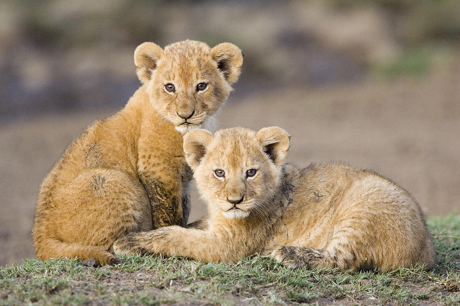 Lion Cubs Cute Lion Cubs Cute Lion Cubs 900x599