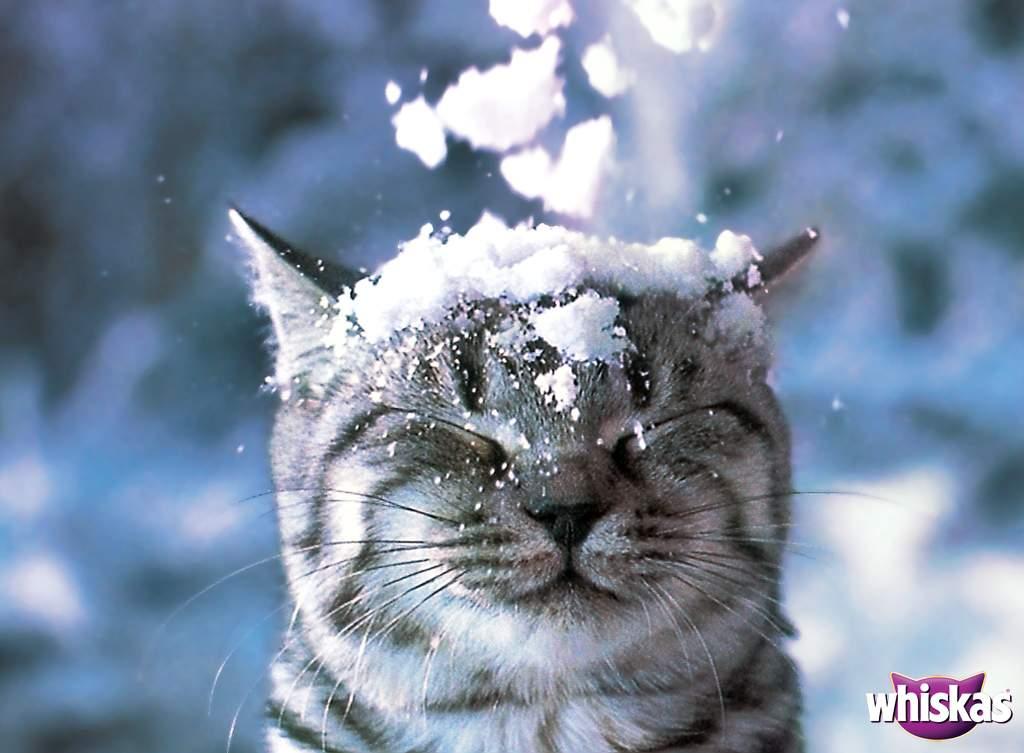 Free Download Wallpapers Warrior Cats Cat Desktop