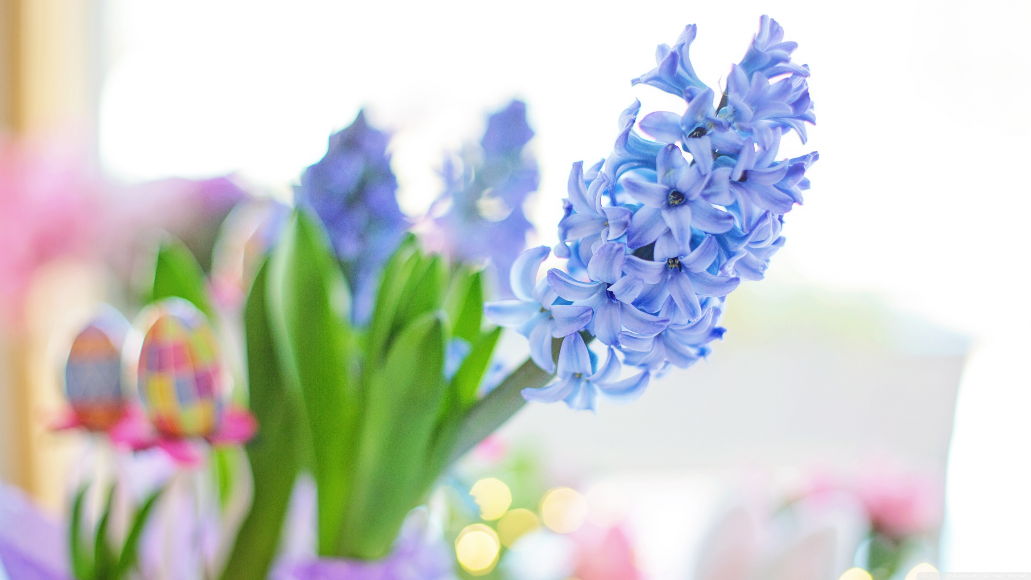 Easter 2020 Blue Hyacinth Flower Spring Ultra HD Desktop 3554x1999