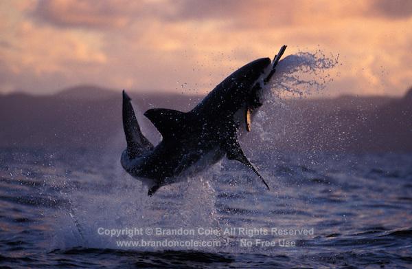 Jumping great white shark wallpaper