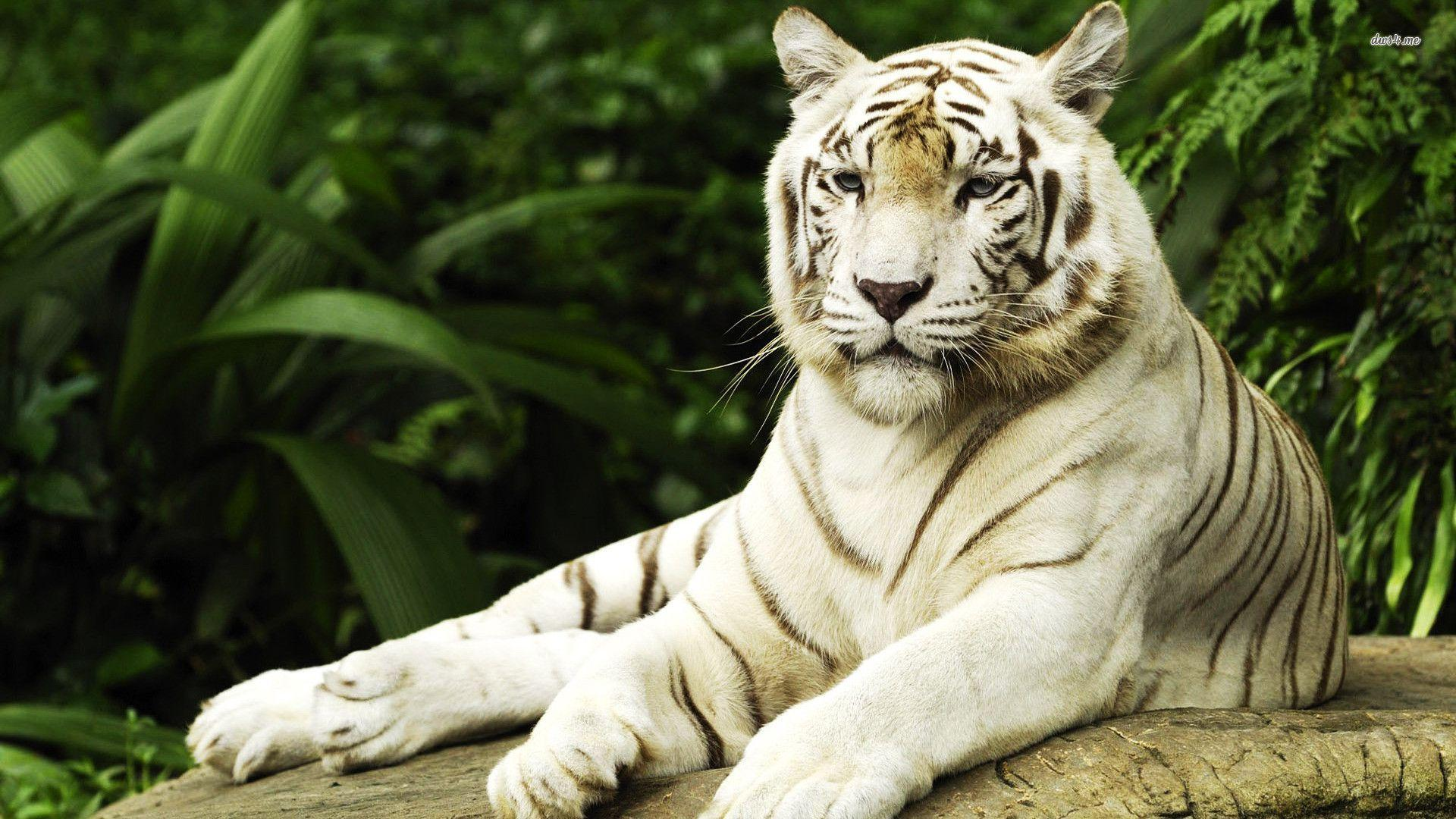 White Tiger Wallpapers HD 1920x1080