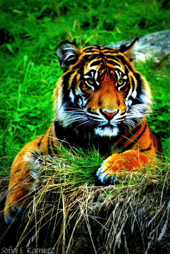 Картинки тигры на телефон вертикальные