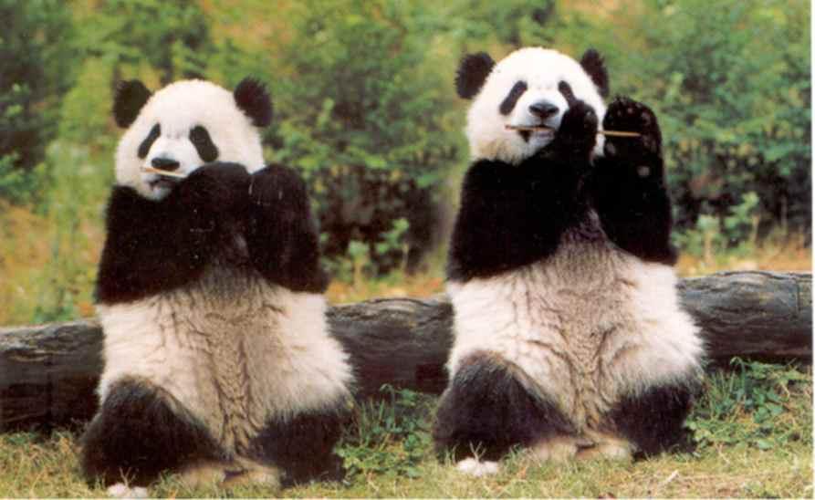 Panda Wallpapers Animal Wallpapers 893x548