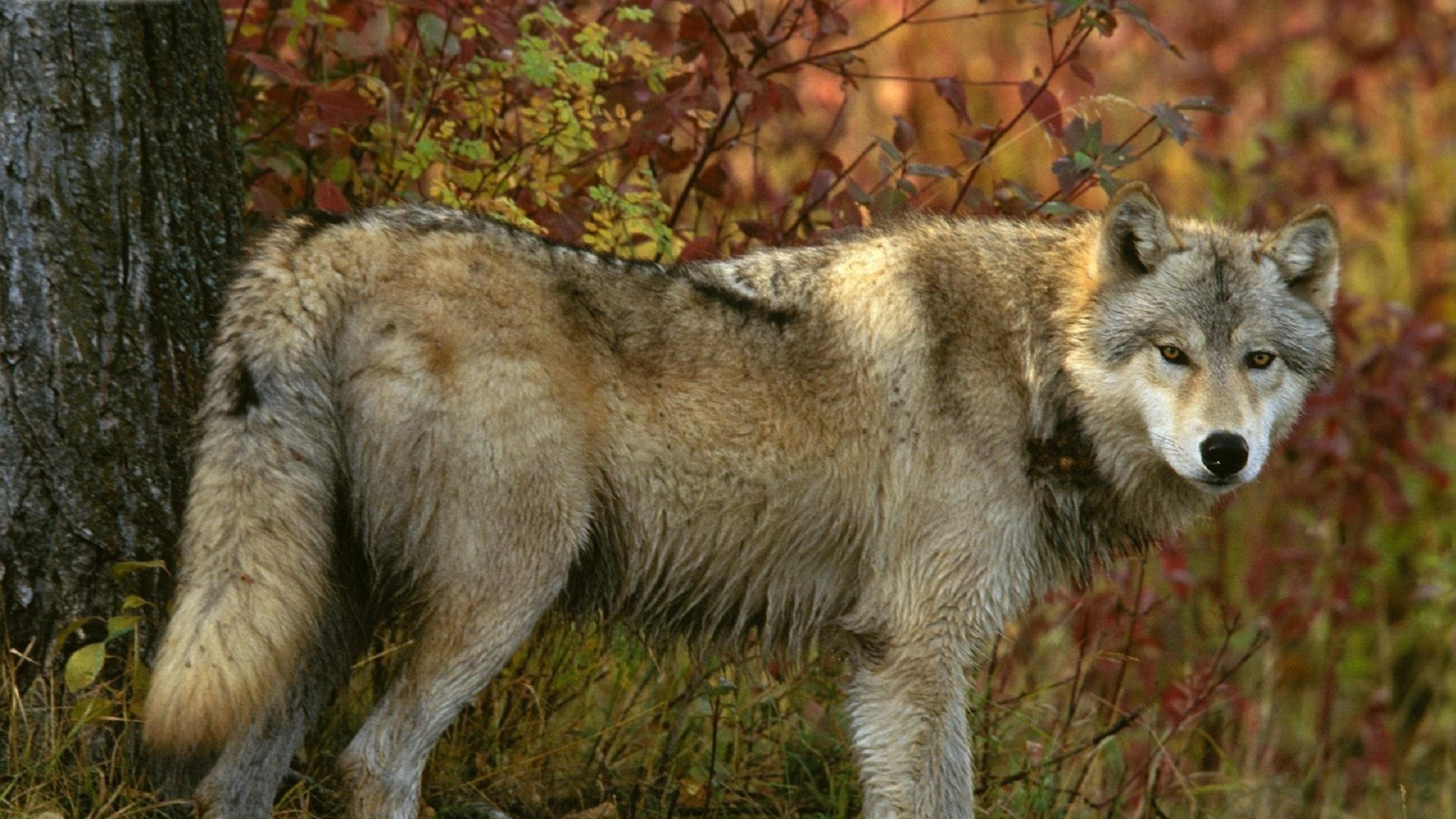 Download Wallpaper 3840x2160 wolf forest autumn tree predator 4K 3840x2160