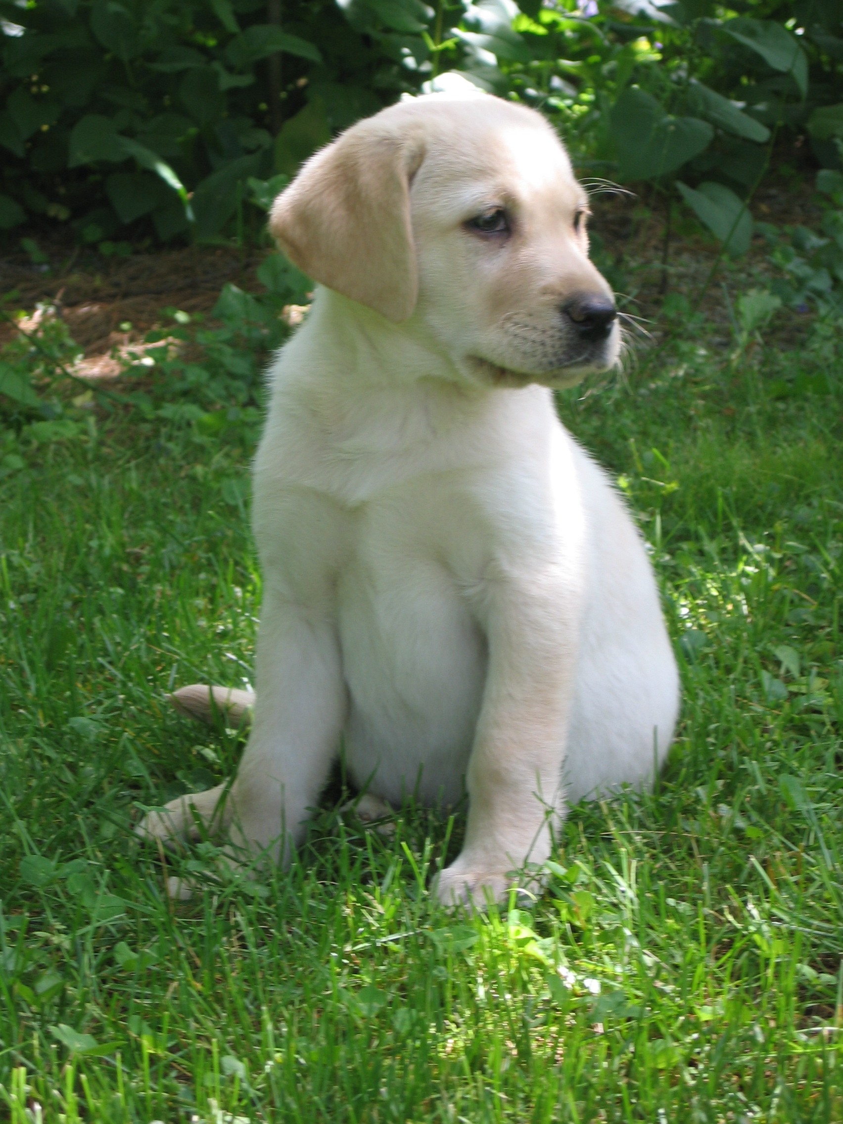 Golden Labrador Retriever Puppies 1704x2272