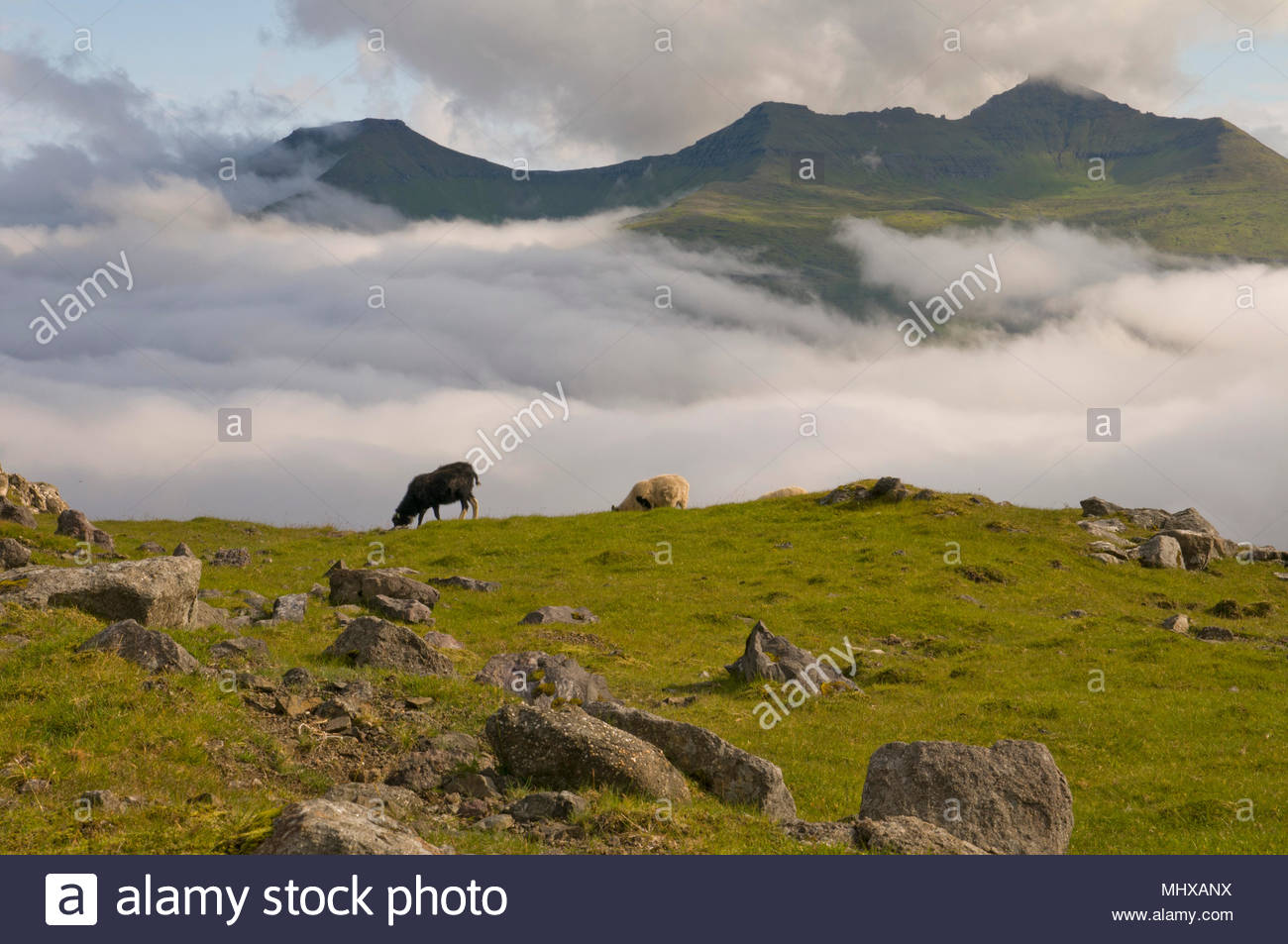 Two sheep on the blue sea and grass cliff background Stock Photo 1300x953