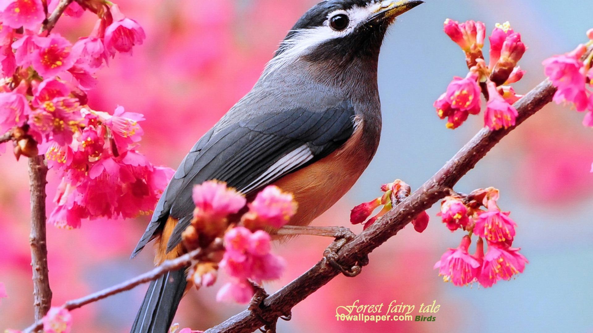 eared thrush Spring cute bird wallpaper   1920x1080 wallpaper download 1920x1080