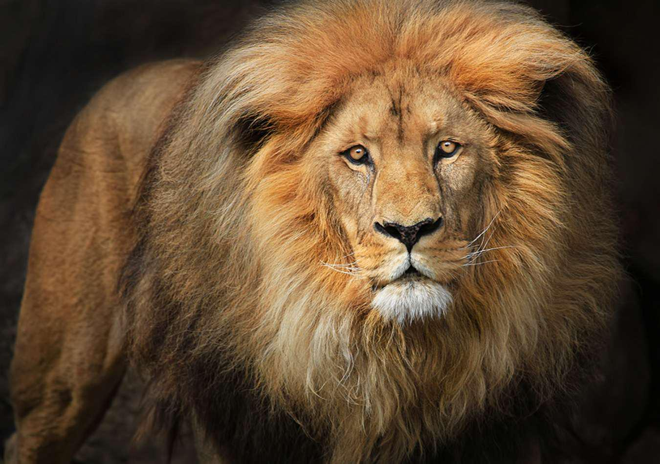 Lion Face Wallpaper 1350x950