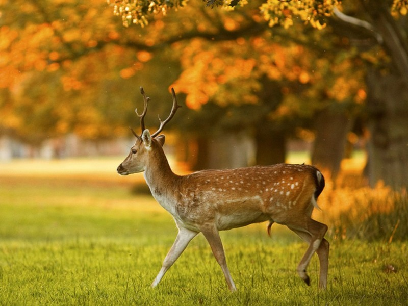 Deer Wallpapers One HD Wallpaper Pictures Backgrounds FREE Download 800x600