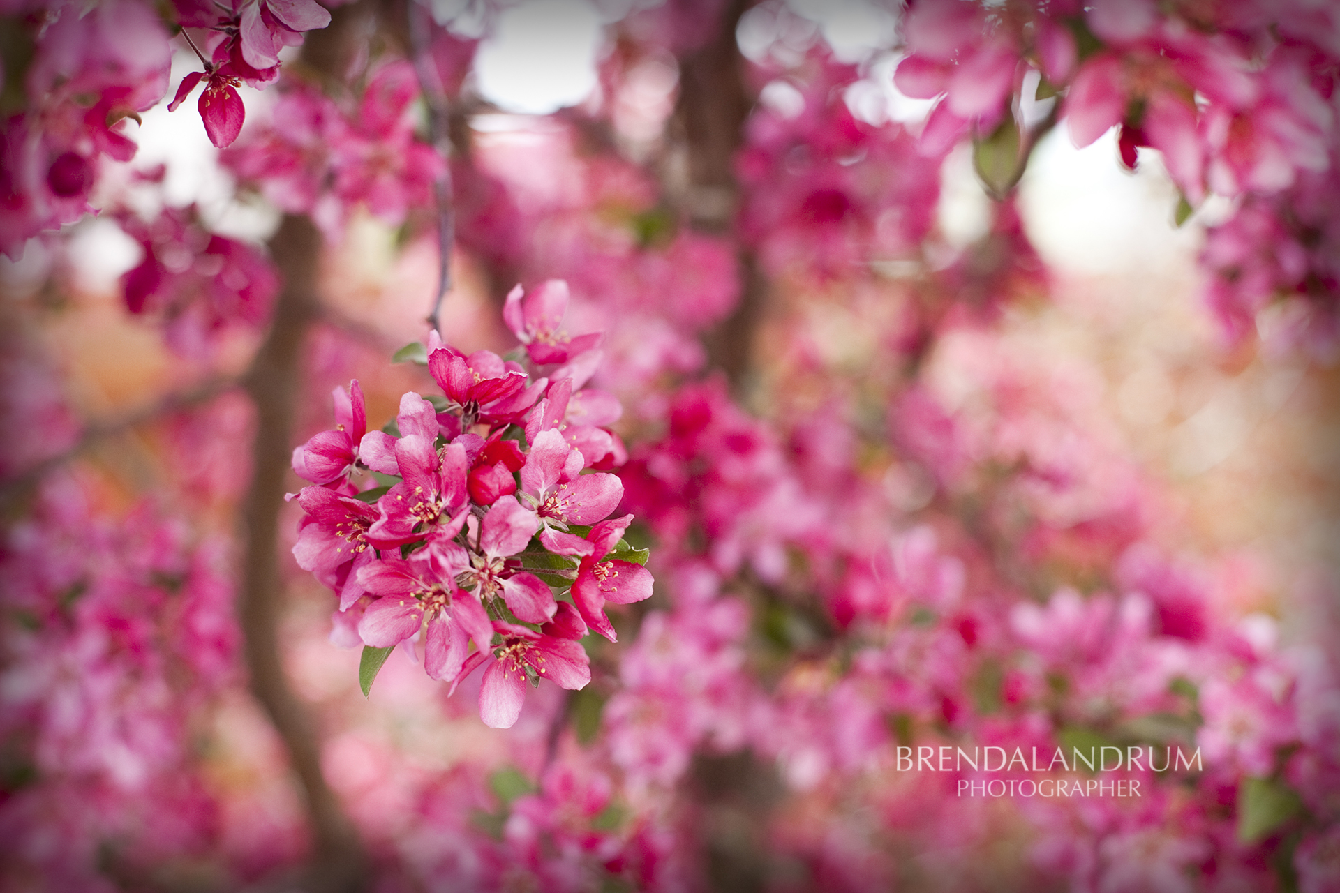 Bright Pink Blooming Tree Wallpaper for Desktop created by Brenda 1920x1280