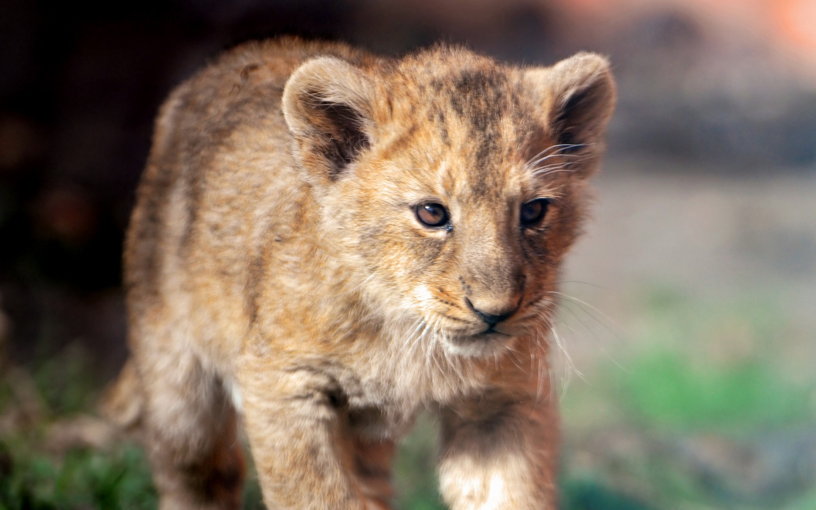 Cute lion cub   Lion cubs Wallpaper 36286253 1680x1050