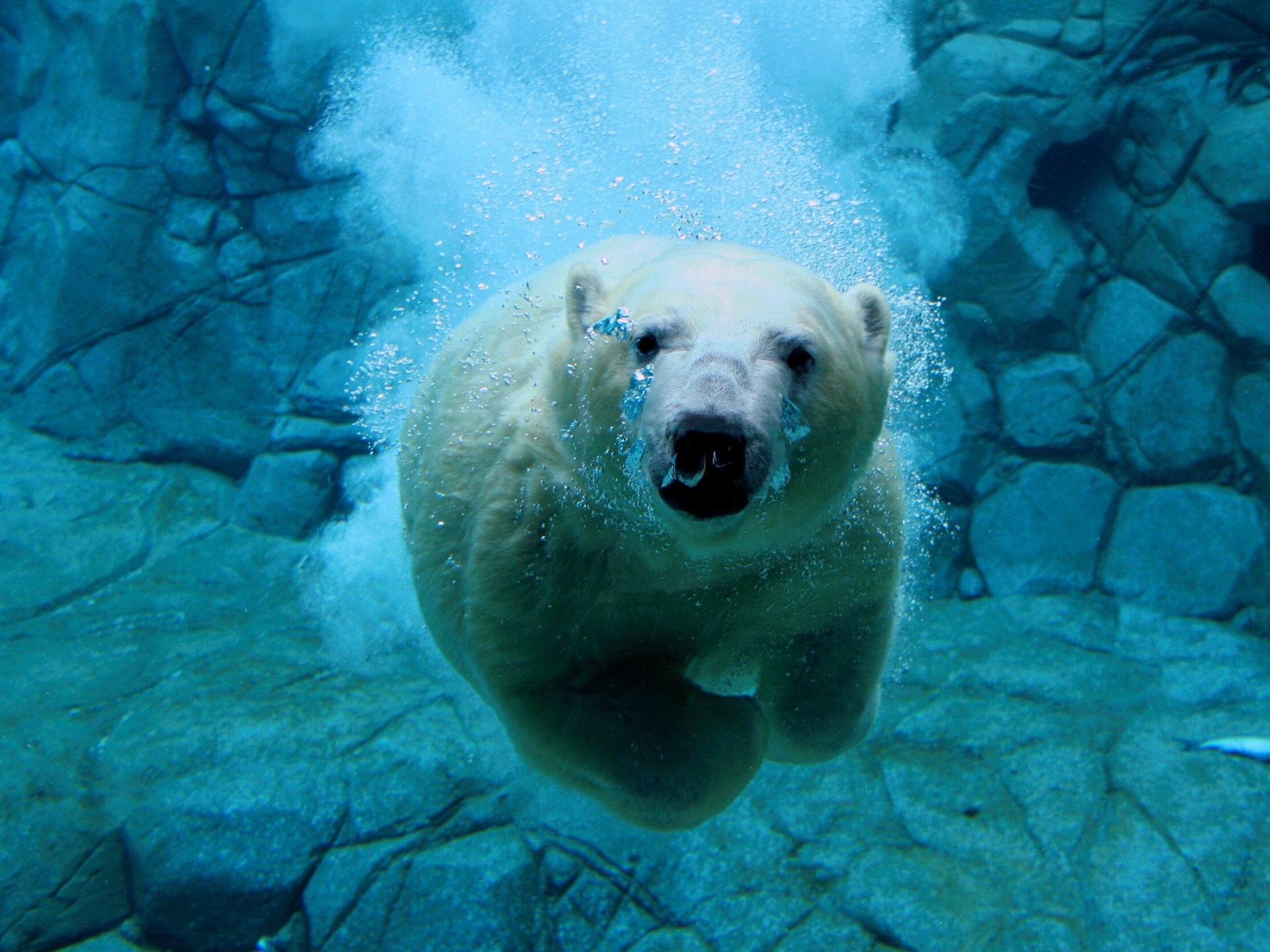 Polar Bear Wallpaper For Desktop Wallpapersafari