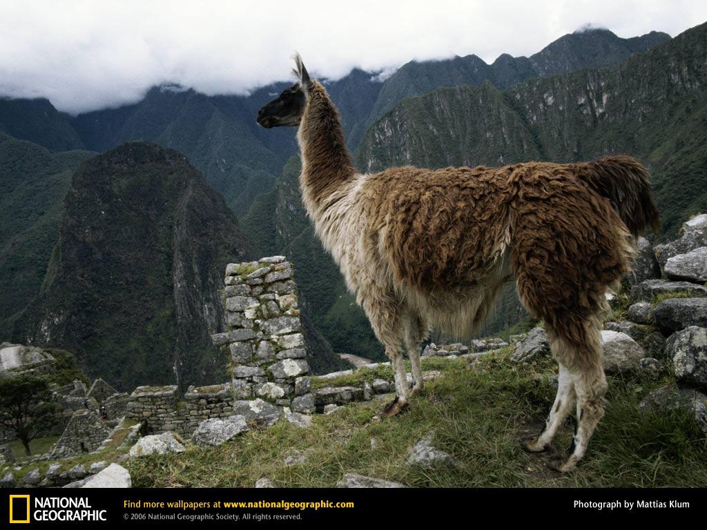 Llama Picture Llama Desktop Wallpaper Wallpapers Download 1024x768