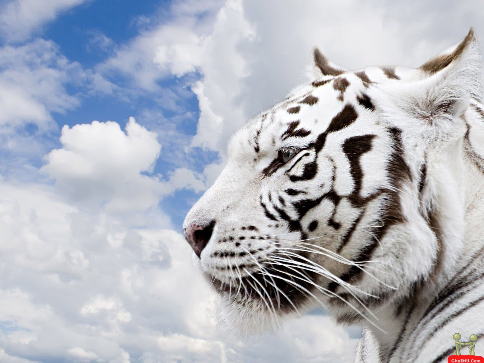 Beautiful HD Siberian Tiger Wallpaper E Entertainment 1600x1200