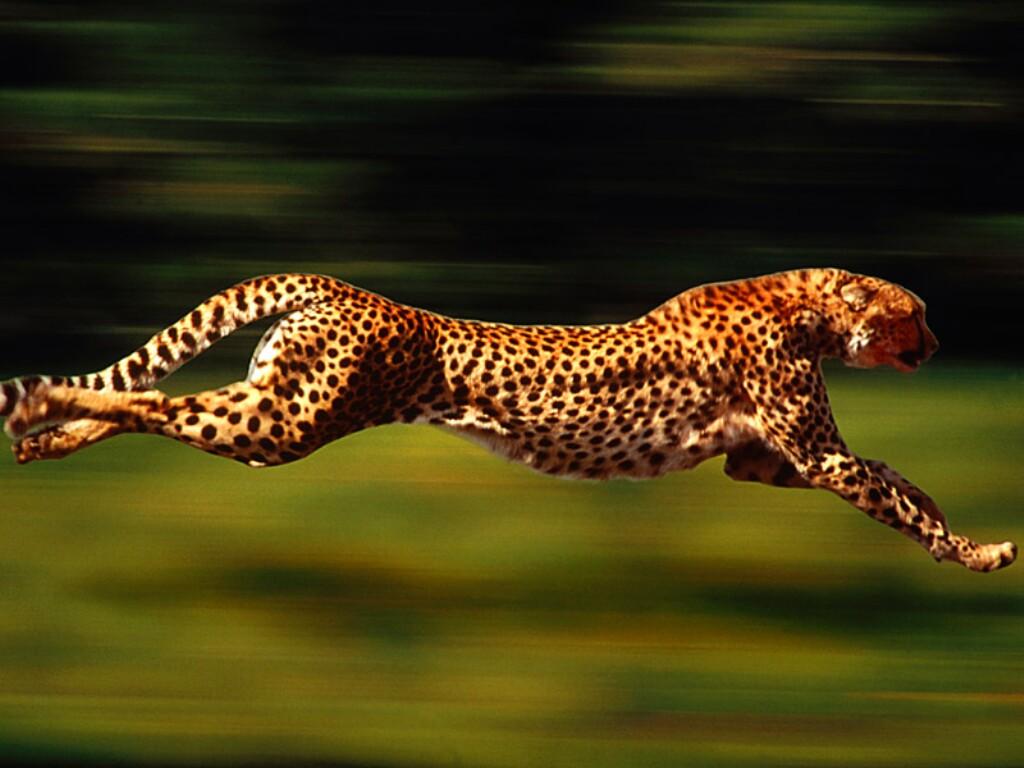 Animal Wallpapers Cheetah Running Wallpapers Running Cheetah 1024x768
