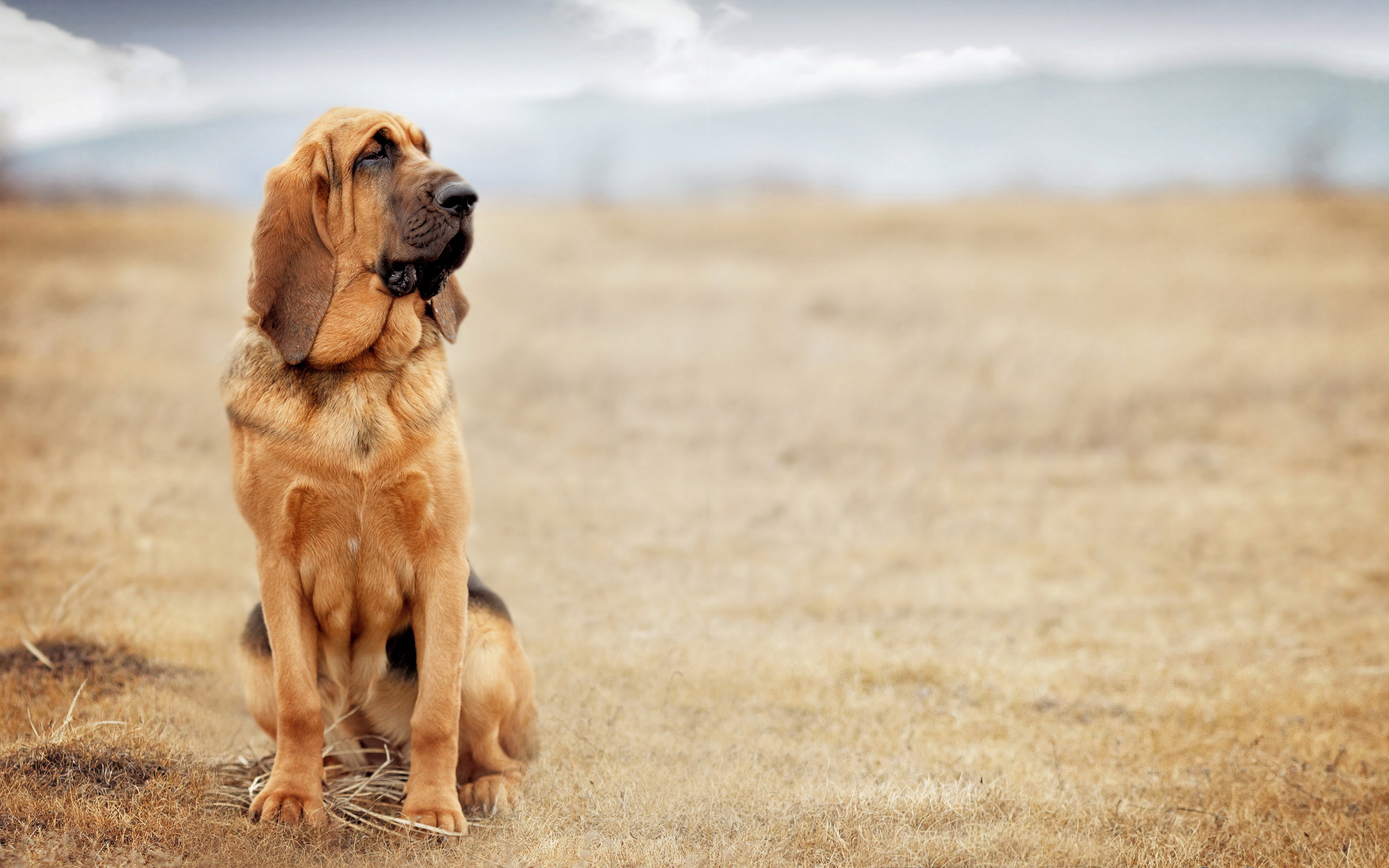 download bloodhound sitting in a field wallpapers and images 3840x2400